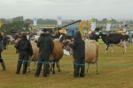 Cow judging in the rain