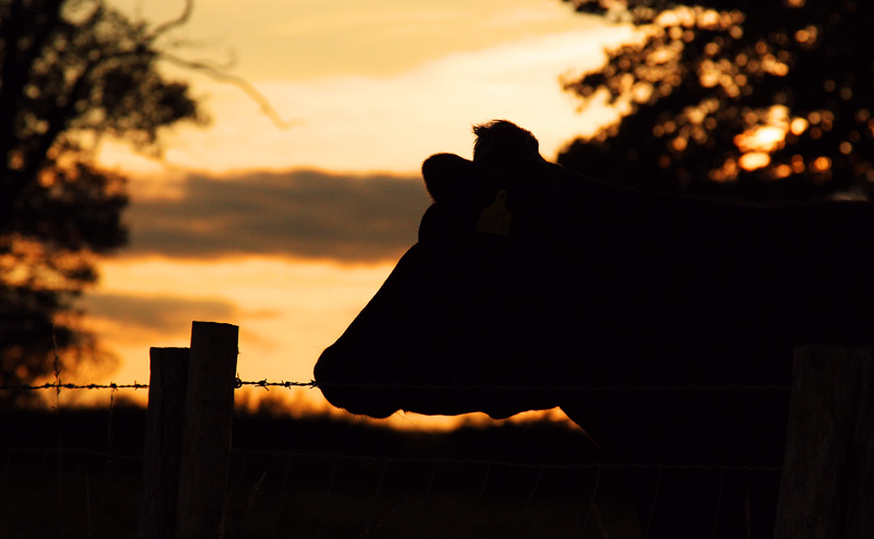 Beautiful Evening For Dog Walking Cow Silhouettes And