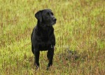 Black Labrador Retriever waiting in the rain