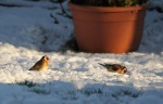 Goldfinches in garden with snow on the ground