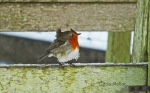 Robin with his feathers ruffled by the wind
