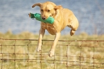 22scottish gundog association