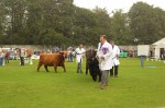Cows on parade in main ring
