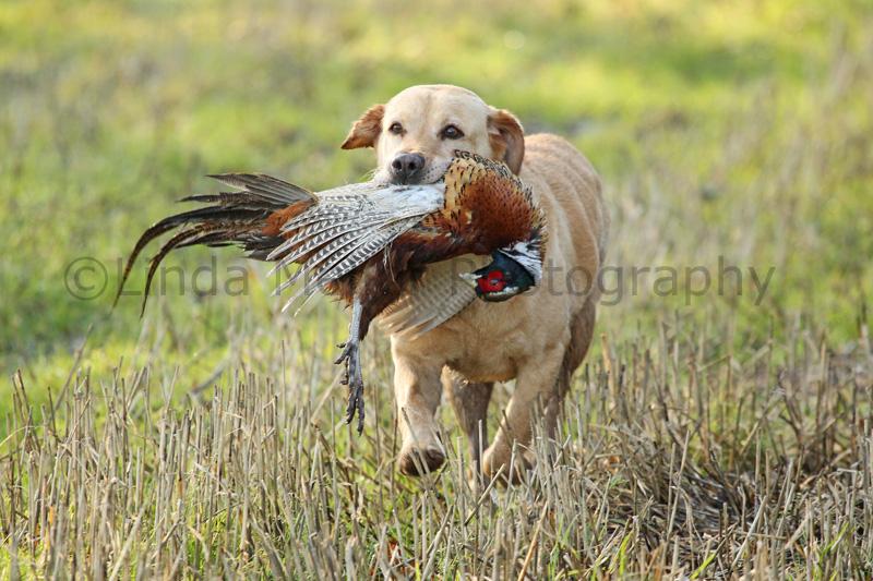 The Labrador Shooting Dog
