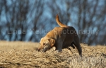 working gun dogs06