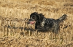 working gun dogs13