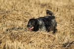 working gun dogs14