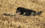 working gun dogs15