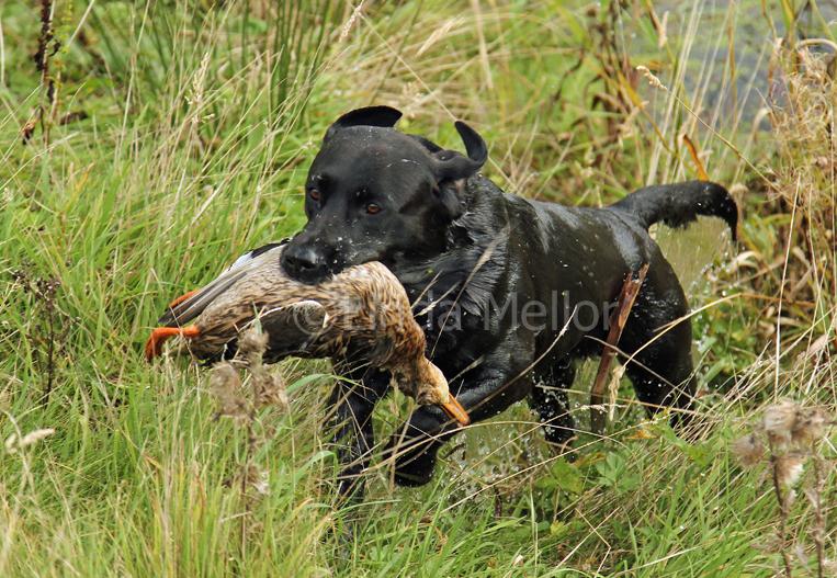 Black Labrador Gundog Working Gundog Black