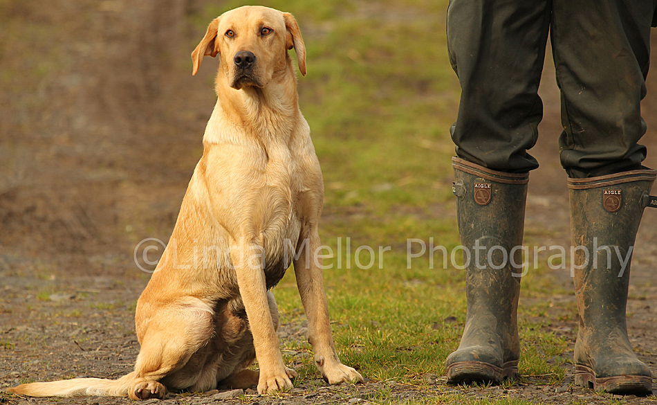 Yellow labrador retriever linda mellor professional photographer and
