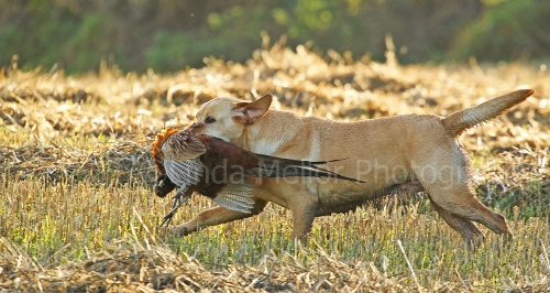 Yellow labrador retrieving cock pheasant across stubble field fife