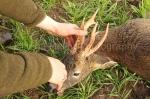 Roe buck stalk 6