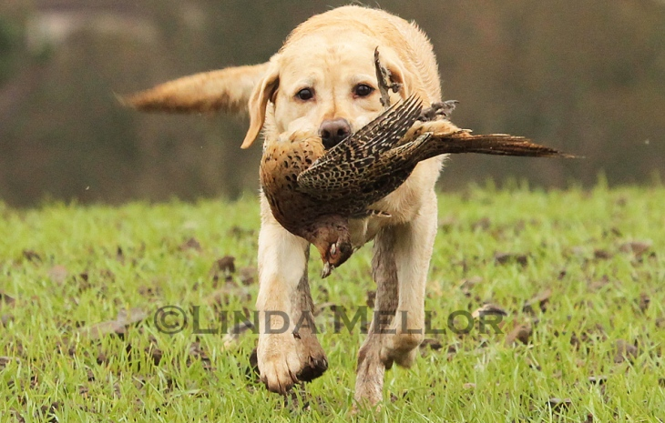 Yellow labrador retriever picking up hen pheasant on shoot day