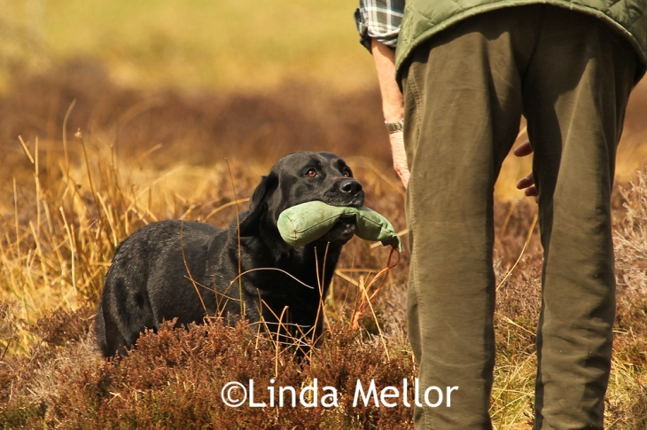 My dad taking part and winning an novice gundog test in 2011 with 99/100, Scotland.