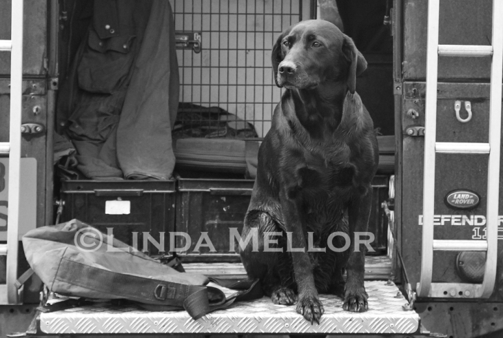 Gundog waiting in 110 Land Rover on Shoot day.