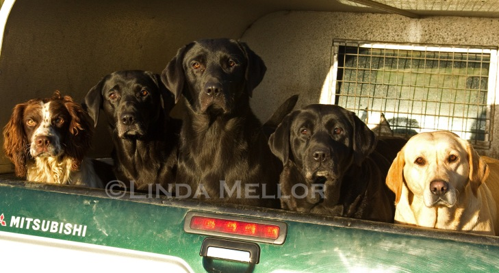 Working gundogs in back of truck on a driven shoot day, Balbirnie estate, Fife