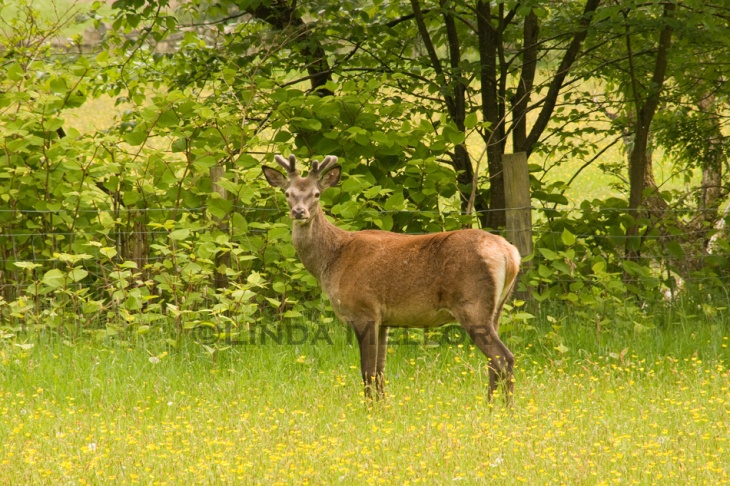 Lake District Deer