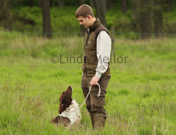 A spaniel looking directly at owner, working gun dog test