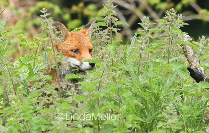 Fox hunting in the undergrowth