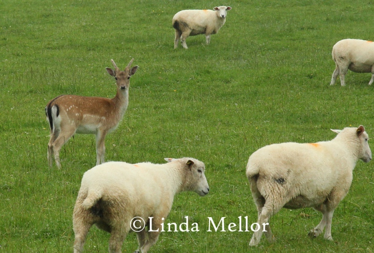 Fallow Buck in sheep field