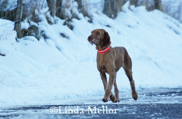 Hungarian wire haired Vizsla on driven shoot day, glen clova, Scotland