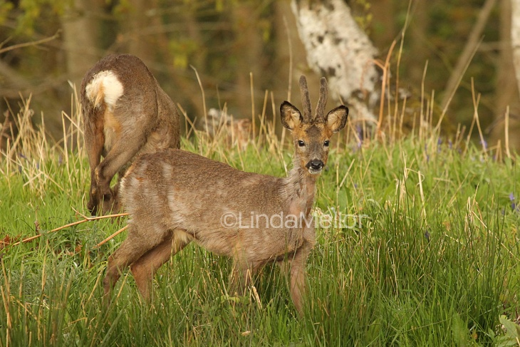 Young roe buck and mother in bluebells