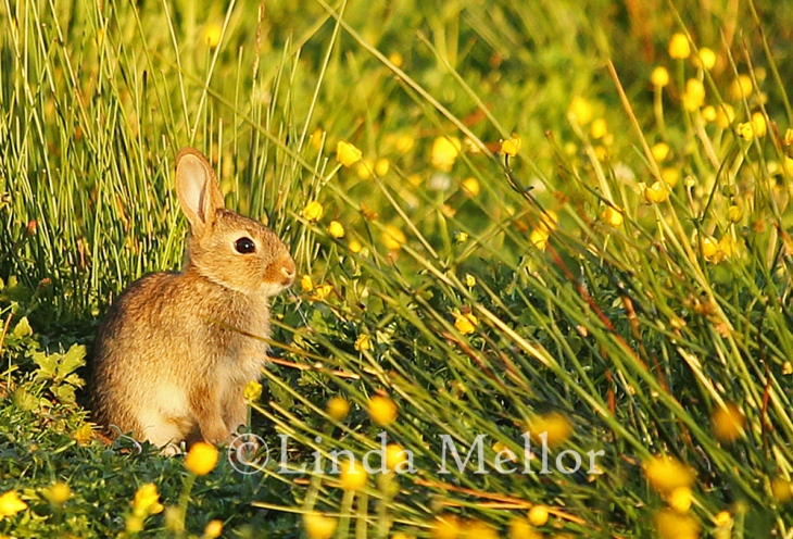 Bunny in the buttercups making the most of the evening sunlight