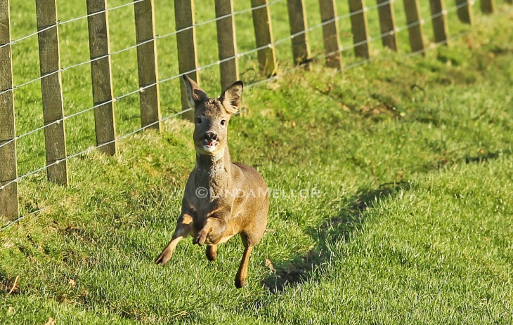 Running Roe deer
