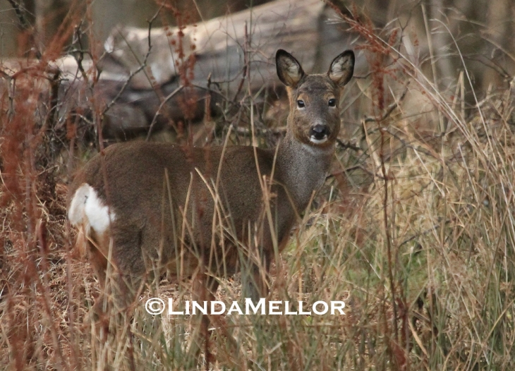 Roe doe in woodland clearing