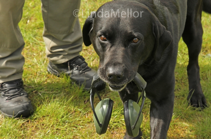 black labrador retrieving ear defenders on a clay shooting day