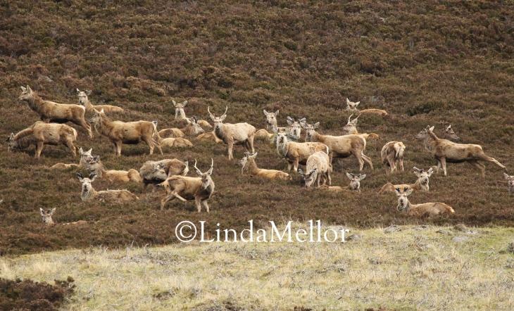 Red deer herd in the heather
