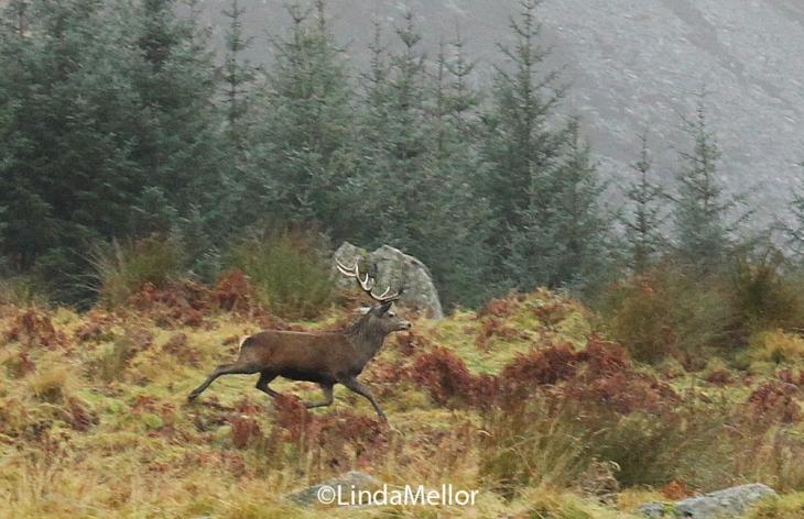 Red Stag, Glen Clova, Scotland