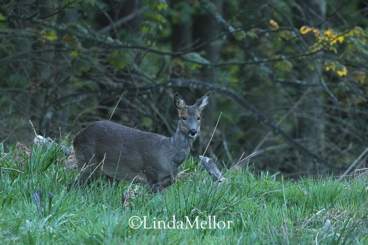 Roe deer doe at dusk