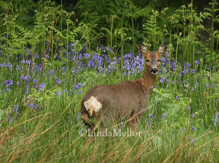 Roe Doe Deer in the bluebells