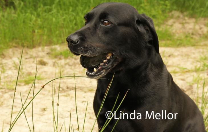 Black labrador retriever fetching unbroken clays