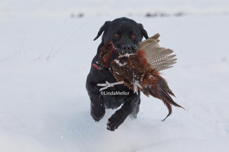 snowy pheasant retrieve