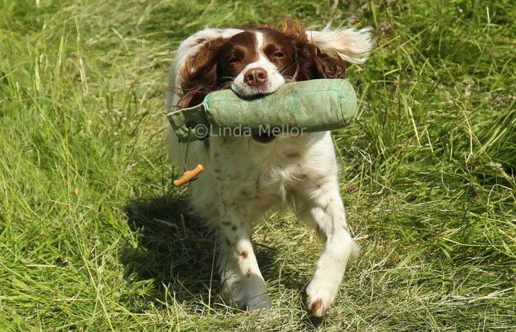Springer spaniel in the scurry at scone