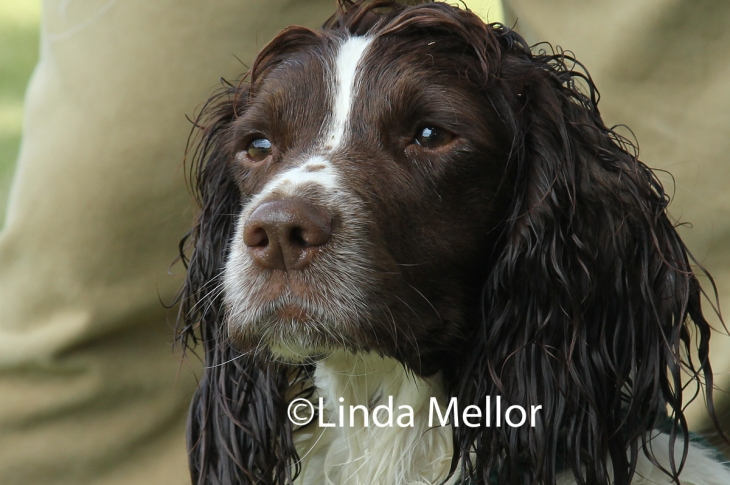 springer spaniel after a dip