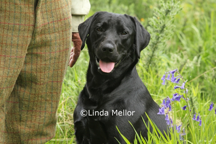 Black labrador retriever, working gundog