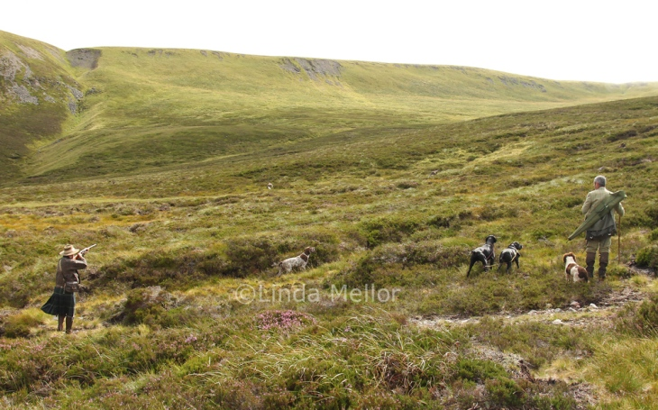 Shooting Grouse over pointers on the heathery hills of Scotland