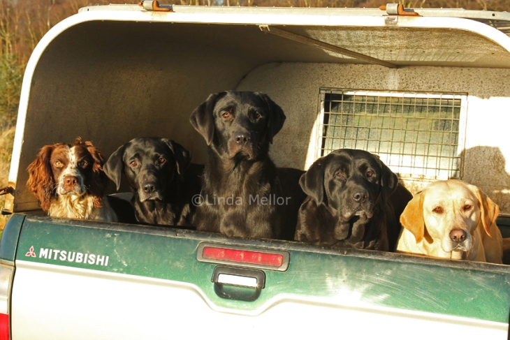 Working dogs in back of truck, black and yellow labradors and a springer spaniel