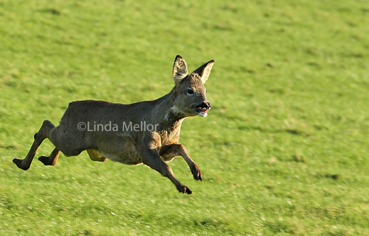 Running roe deer doe