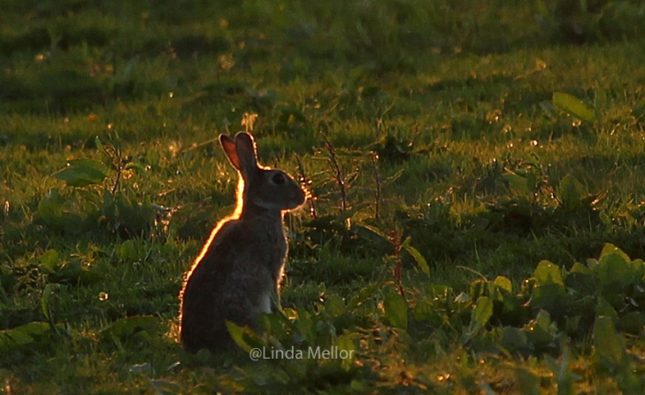 Back lit Rabbit