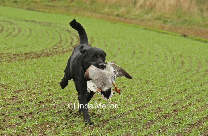 Labrador retrieving a duck, shoot day, Balbirnie, Scotland