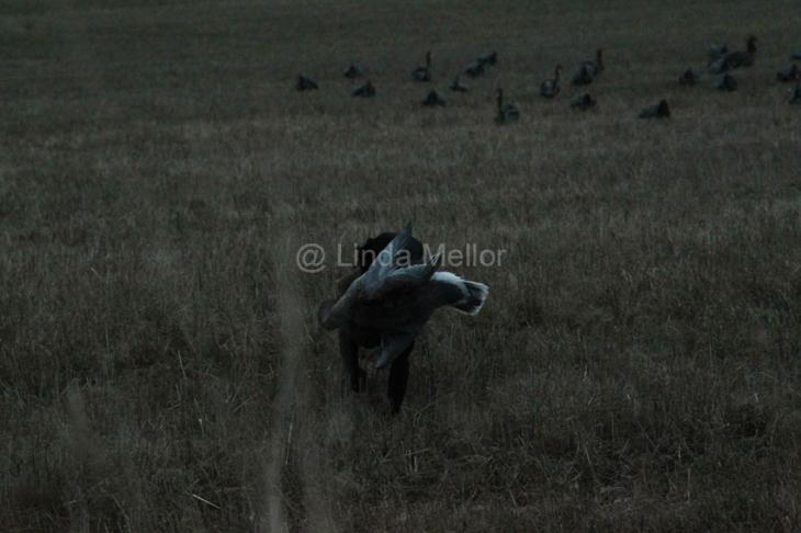 geese_shoot24