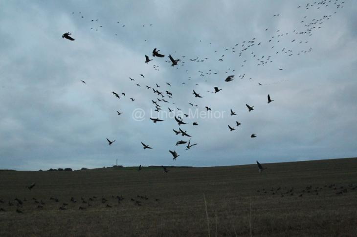 geese_shoot31