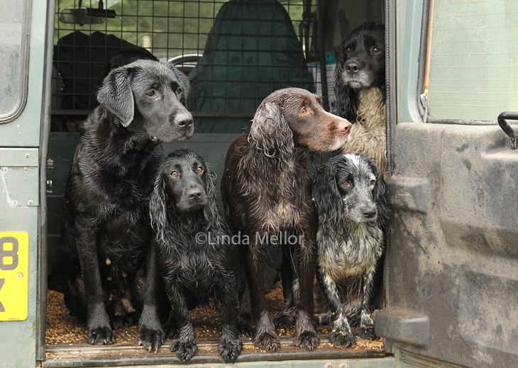 the shootday workers - the spaniels and the labrador