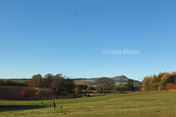 High flying pheasants on Balbirnie Estate with the East Lomond Hill as a backdrop, Fife