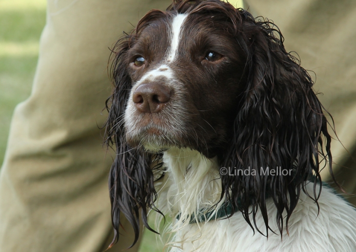 Springer spaniel with wet and wavy hair. Gundog