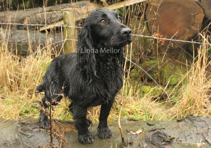 Cocker spaniel out on keepers day, driven shooting, Scotland